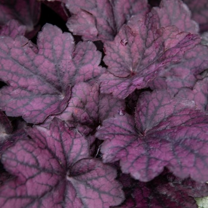 #1 Heuchera Lava Lamp/Coral Bells
