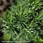 #3 Cephalotaxus harringtonia Fastigiata/Upright Plum Yew