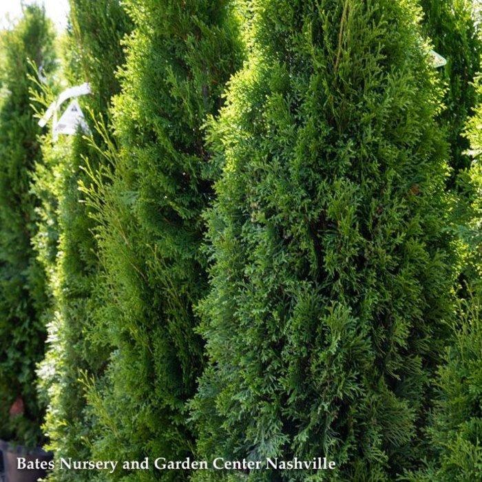 7-8ft Thuja occ Smaragd/Emerald Green Arborvitae Columnar No Warranty