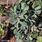 #7 Ginkgo biloba Jade Butterflies/Dwarf Maidenhair (Male)