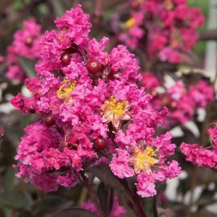 #3 Lagerstroemia Delta Fusion/Crape Myrtle Semi-dwarf Dark Pink