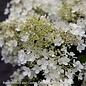 #3 Hydrangea pan Bobo/Panicle Dwarf White