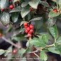 #2s Ilex vert Mr Poppins/Winterberry Holly Deciduous Male