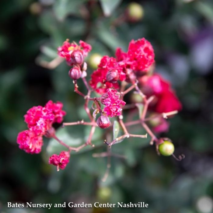 #3 Lagerstroemia Princess Zoey/Crape Myrtle Dwarf Red & Pink