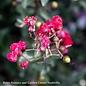 #3 Lagerstroemia Princess Zoey/Crape Myrtle Dwarf Red & Pink