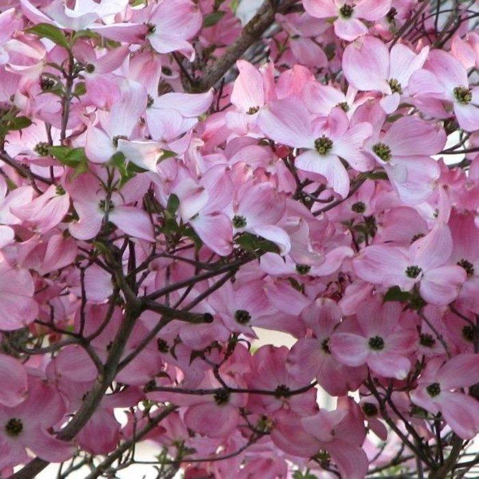 #7 Cornus florida x kousa Stellar Pink/Hybrid Dogwood Pink