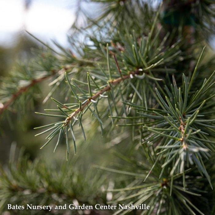 #6 Cedrus deodara 'Kashmir'/Deodar Cedar