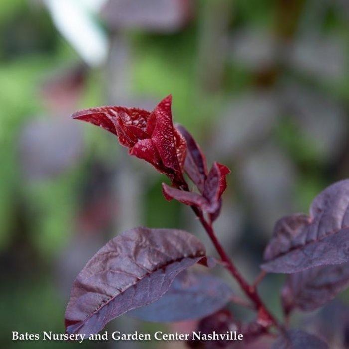 #5 Prunus cerasifera Krauter Vesuvius/Purple Leaf Plum