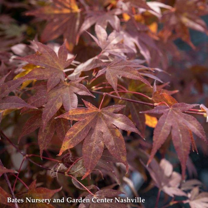 #15 BOX Acer pal Oshio-Beni/Japanese Maple Red Upright