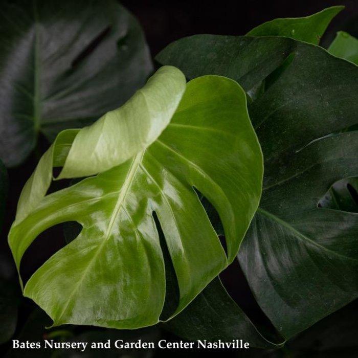 8p! Philodendron Split Leaf /Monstera deliciosa /Tropical