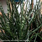 6p! Sansevieria Fernwood /Mother-in-Law Tongue/Snake Plant /Tropical
