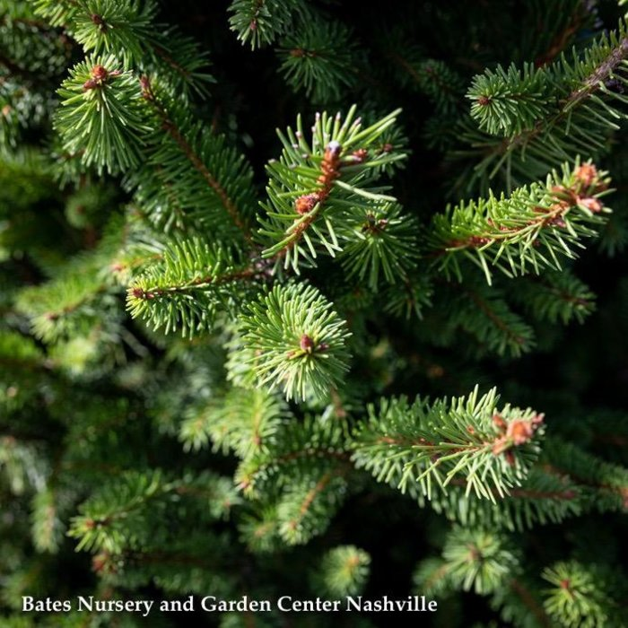 #6 Picea abies Sherwood Compact/Norway Spruce