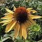 #1 Echinacea Big Kahuna/Coneflower