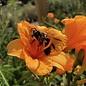 #1 Hemerocallis Endlesslily Orange/Daylily