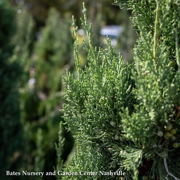 #6 Juniperus chin Trautman/Green Columnar Juniper