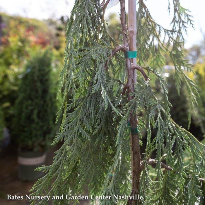 #6 Chamaecyparis nootka Pendula/Weeping Alaskan Cypress