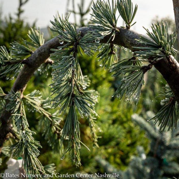 #6 Cedrus atlantica Glauca Pendula/Weeping Blue Atlas Cedar