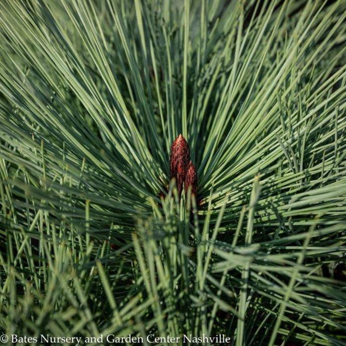 #6 Pinus jeffreyi 'Joppi'/Dwarf Jeffrey Pine