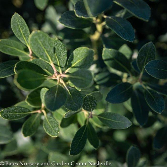 #3 Ilex glabra Nordic/Inkberry Holly (male)