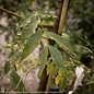 #15 Pistacia chinensis/Chinese Pistache