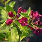 #1 Weigela Rubies n'Gold/Gold Leaves