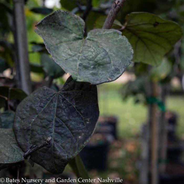#15 Cercis can Black Pearl/Redbud Purple Foliage