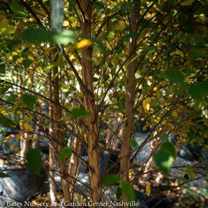 #15 Betula nigra Dura Heat/River Birch Clump