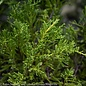 #2 Juniperus chin Daubs Frosted/Chinese Juniper Spreading