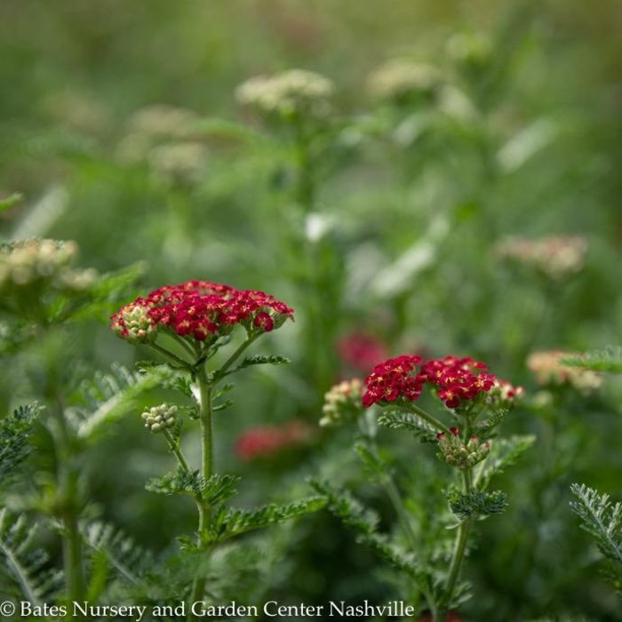 #1 Achillea Red Velvet/Yarrow