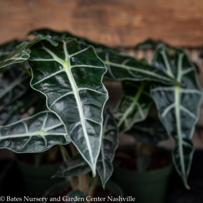 6p! Alocasia Amazonica 'Polly' / African Face Mask /Tropical