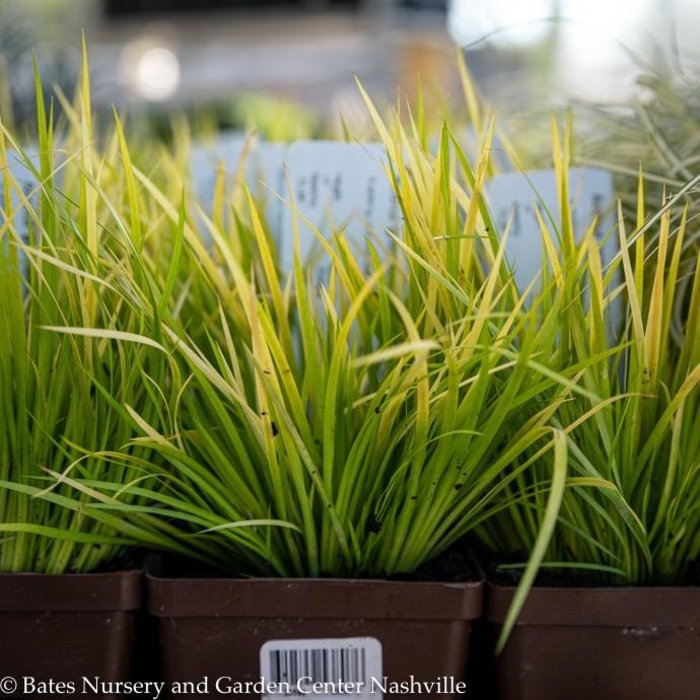 #1 Grass Acorus gram Minimus Aureus/Dwarf Golden Sweet Flag