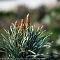 #5 Pinus parviflora Blue Angel/Japanese White Pine