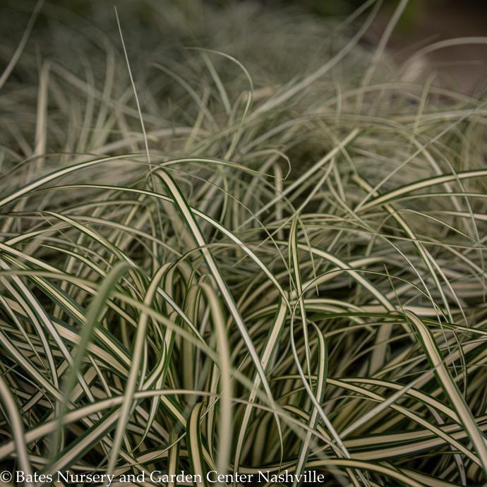 #1 Grass Carex osh EverColor Eversheen/Sedge Variegated