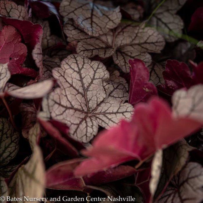 #1 Heuchera Heureka Purple Mountain Majesty/Coral Bells