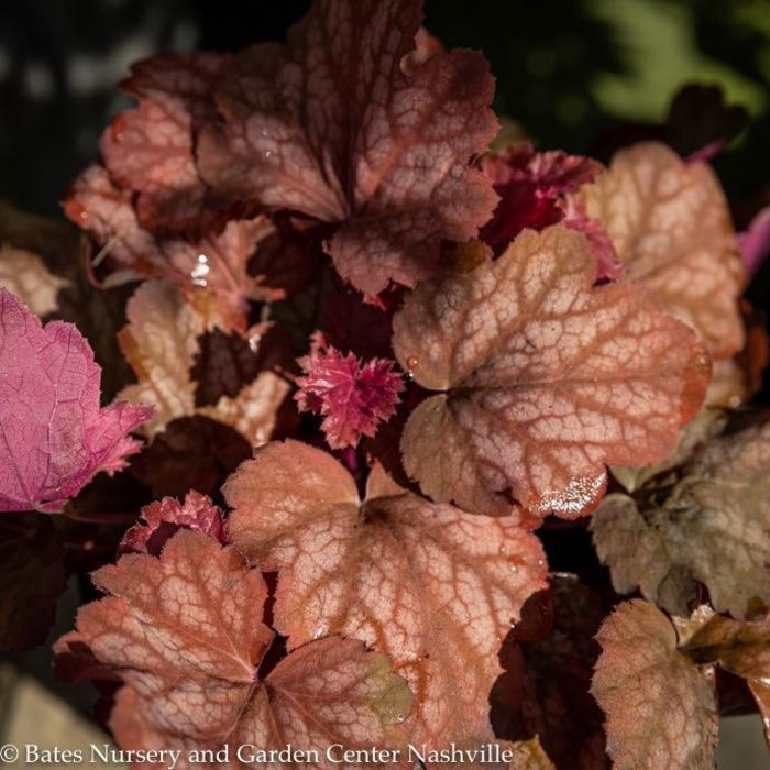 #1 Heuchera Heureka Sweet Princess/Coral Bells