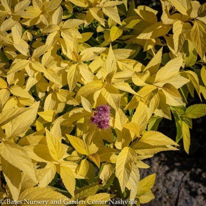 #3 Spiraea Golden Sunrise/Compact