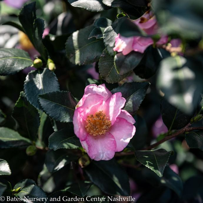 #3 Camellia Long Island Pink/Single No Warranty