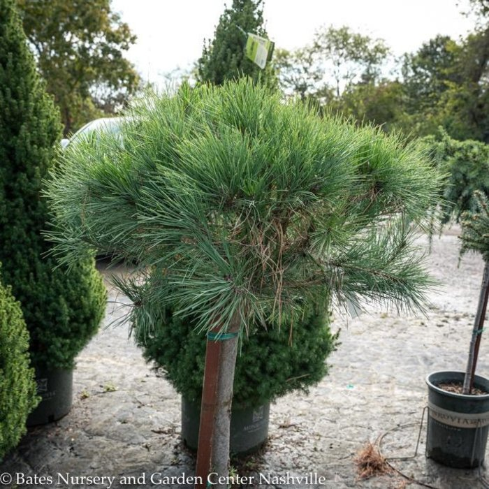 Topiary #5 Patio Tree Pinus dens Umbraculifer Compacta/Tanyosho Pine