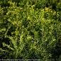 #10 Taxus x media Densiformis/Dense Yew
