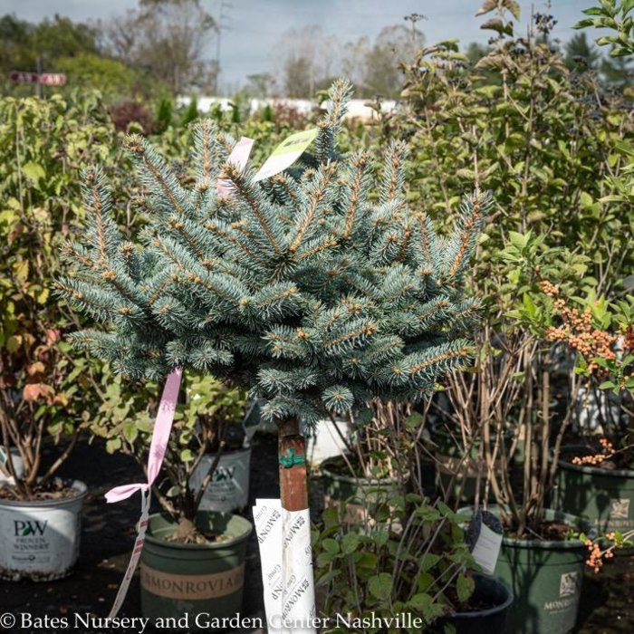 Topiary #5 PT Picea pungens Globosa/Dwarf Globe Blue Spruce