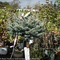 "Topiary #5 PT Picea p Globosa/Dwarf Globe Blue Spruce 24""graft"
