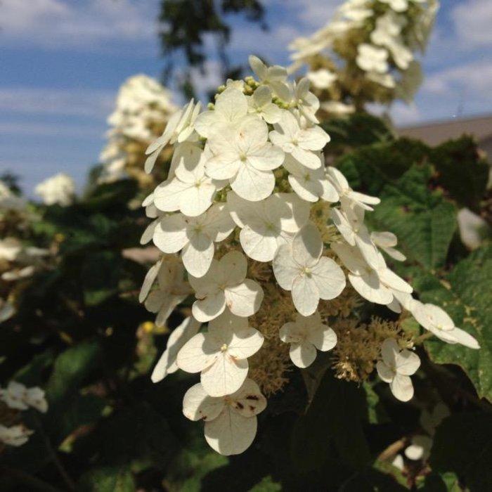 #3 Hydrangea quercifolia Munchkin/Oakleaf