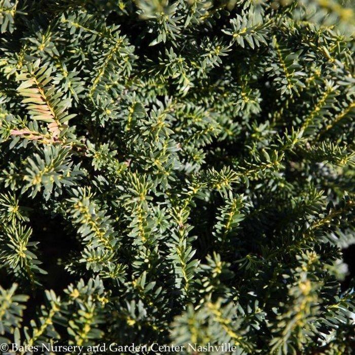 #5 Taxus cuspidata Monloo/Emerald Spreader Japanese Spreading Yew
