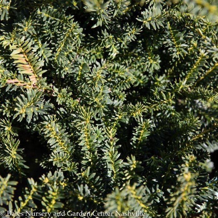 #1 Taxus cuspidata Monloo/Emerald Spreader Japanese Spreading Yew