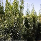 #3 Taxus x media Hicksii/Upright Yew