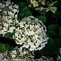 #3 Hydrangea arb Invincibelle Wee White/Smooth White (Annabelle Type)