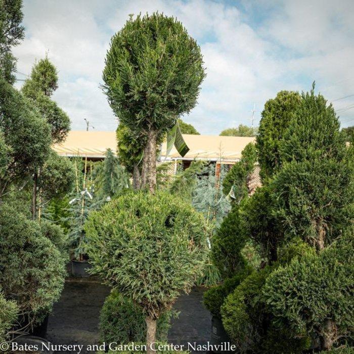 Topiary #5 2PDL Juniperus chin Spartan/Chinese Juniper Poodle