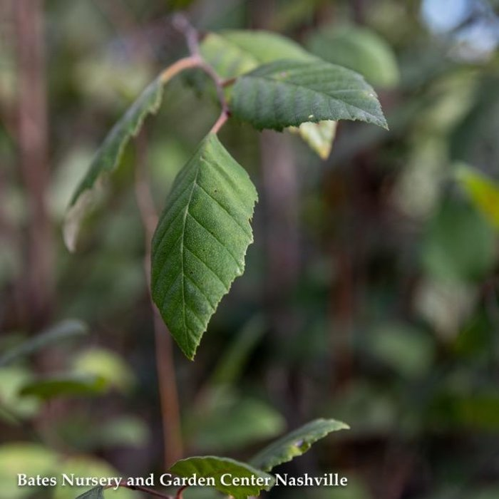 #7 Betula nigra/River Birch Clump