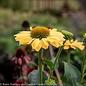 #1 Echinacea Aloha/Coneflower