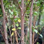 #10 Betula n. Heritage /River Birch Clump